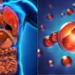 Les cellules de nos organes
