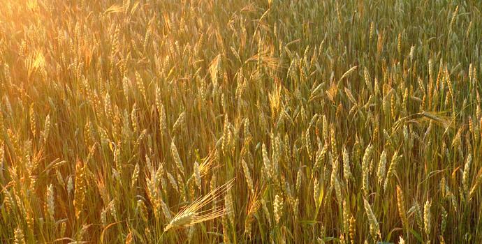 Champs de blés anciens